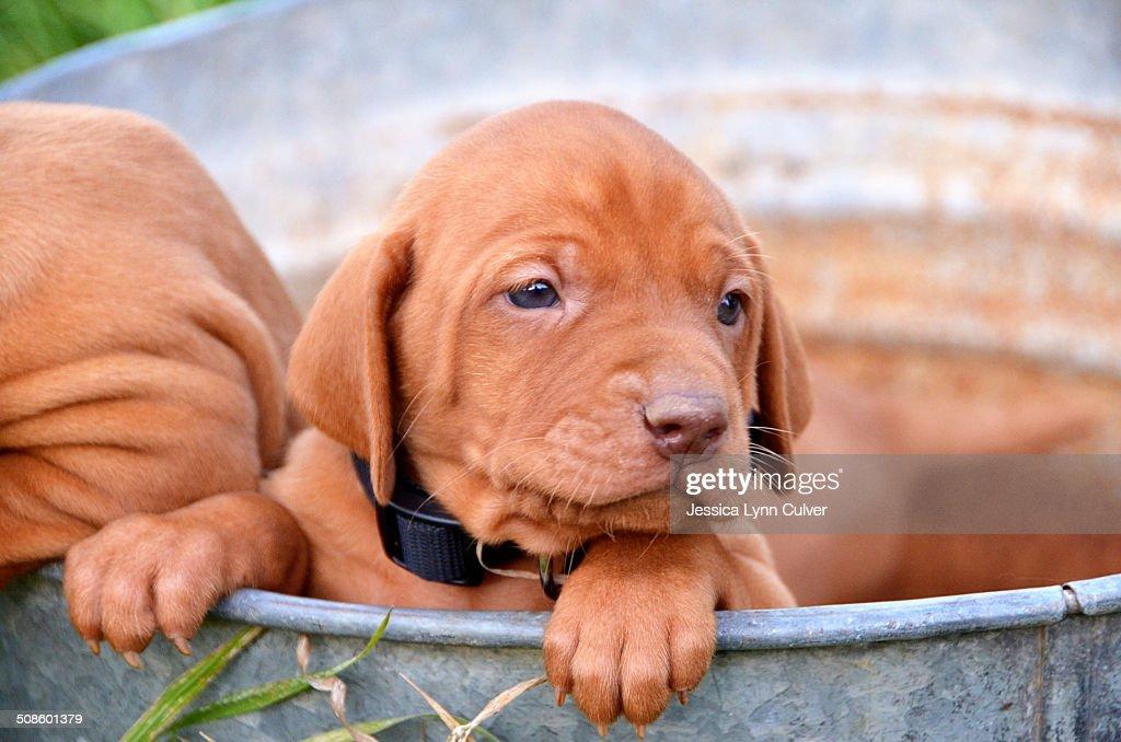 Vizsla puppies in a rusty galvanized bucket : Stock Photo