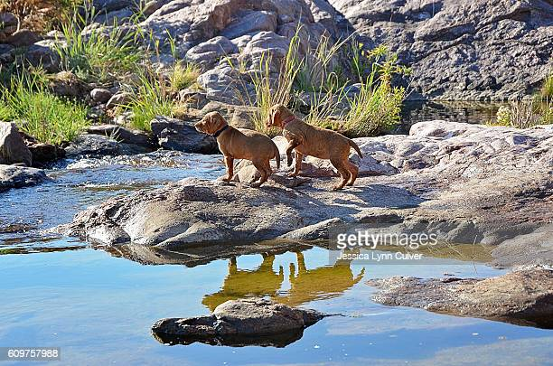 vizsla puppies playing at the edge of a creek - lynn pleasant stock pictures, royalty-free photos & images