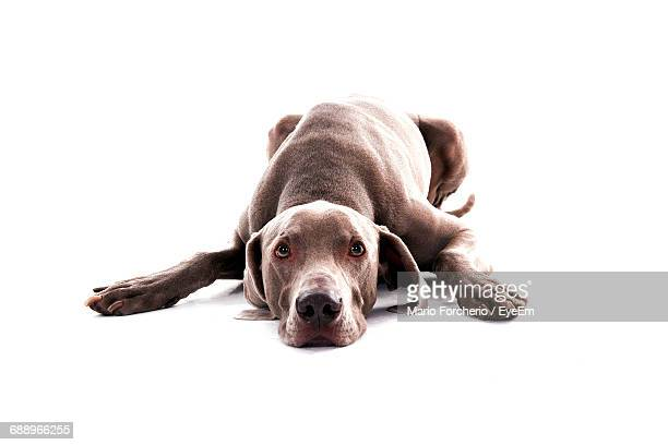 Vizsla Relaxing On White Background