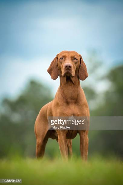 vizsla standing in grass - hunting dog stock pictures, royalty-free photos & images