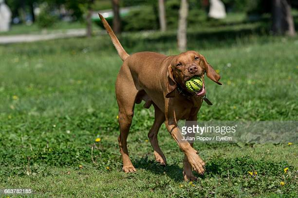 Vizsla With Ball In Mouth Walking On Grassy Field