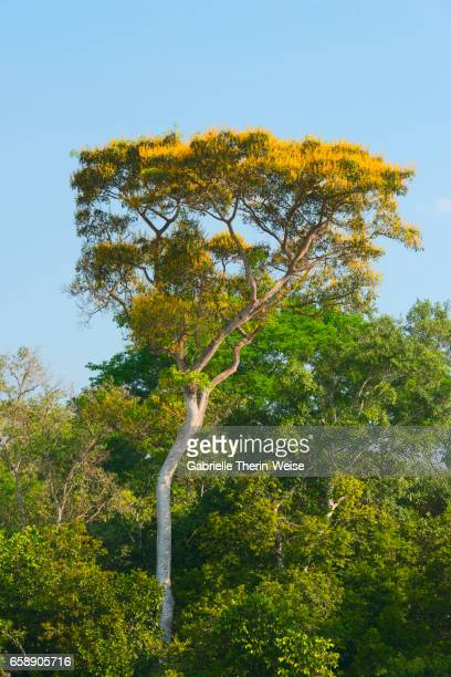 vochysia divergens - cuiaba river stock pictures, royalty-free photos & images