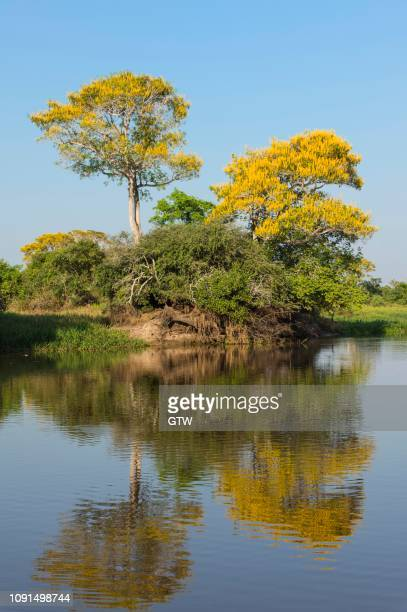 vochysia divergens trees along the cuiaba river, pantanal, mato grosso state, brazil - cuiaba river stock photos and pictures