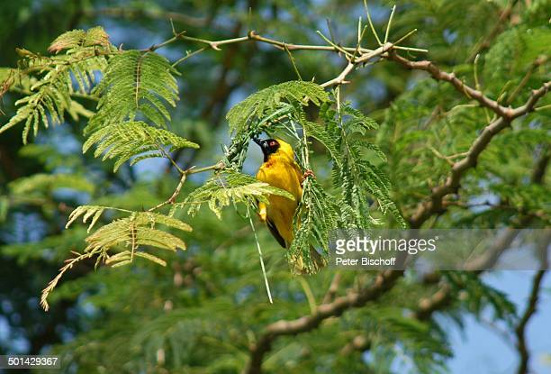Vogel im Baum Glen Afric Country Lodge Hartbeespoort bei Pretoria Südafrika Afrika Tier Reise BB DIG PNr 240/2006