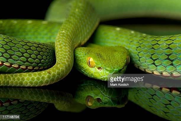 Vogel de serpiente víbora de hoyo