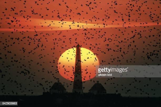 Vogelschwarm bei Sonnenuntergang / Sonnenaufgang im Nationalpark Wattenmeer vor dem Westerhever Leuchtturm auf der nordfriesischen Halbinsel...