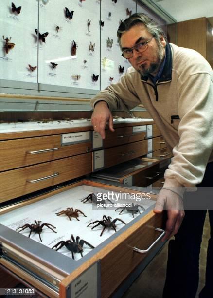 Vogelspinnen in der Schublade präsentiert der Insekten-Präparator des Bremer Übersee-Museums, Helmut Riemann, am 8.3.2000 in der musealen...