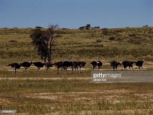 Vogelstrauße im Krüger National Park,Republik Südafrika- 1993