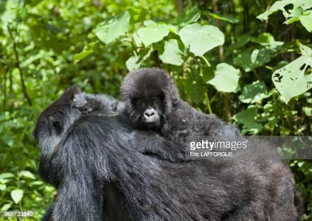 Volcanoes National Park lies in northwestern Rwanda and borders Virunga National Park in the Democratic Republic of Congo and Mgahinga Gorilla...