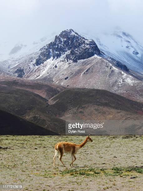 volcán chimborazo, ecuador - säugetier stock-fotos und bilder