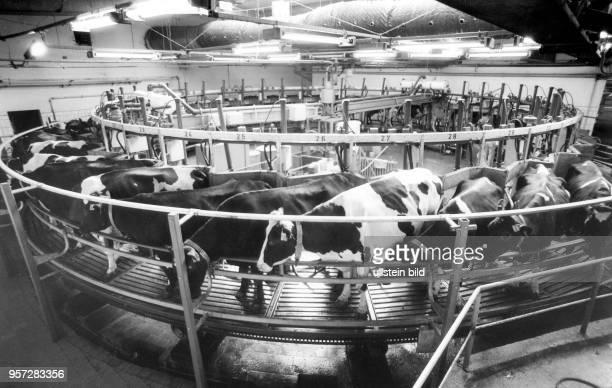 Vollautomatischer Melkbetrieb in der Milchviehanlage Großerkmannsdorf bei Dresden aufgenommen in der Wendezeit 1990 In einem Melkkarusell werden die...