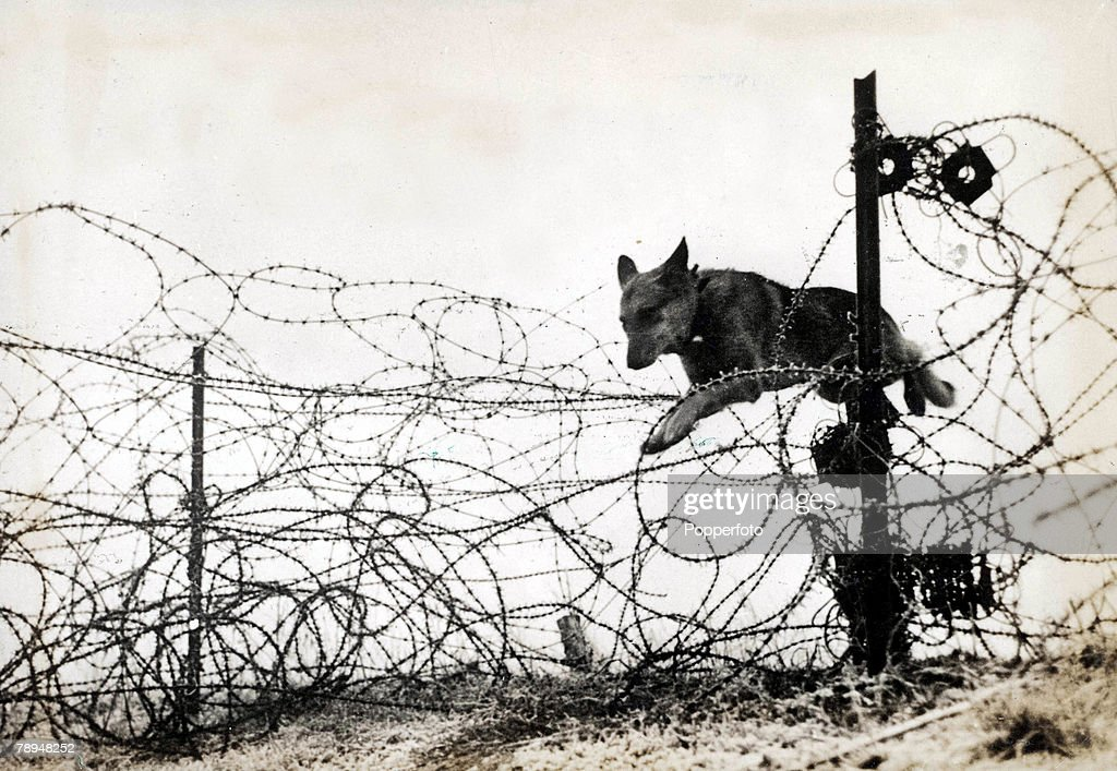 Volume 2. Page 124. Picture 9. World War One. 1914 - 1918. Western Front. Flanders, Belgium. 'Wolf' the Alsatian dog jumping over barbed wire entanglements on his way to deliver a message. : Photo d'actualité