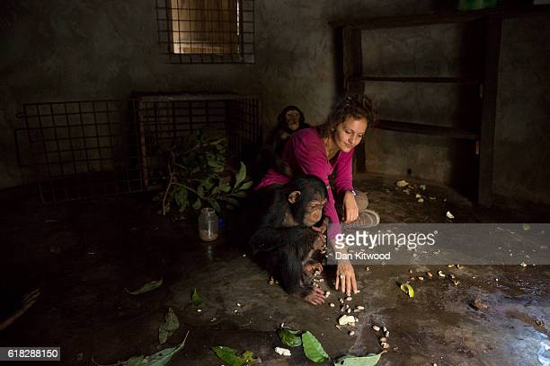 Volunteer Anissa Aidat feeds the three baby chimpanzees after a bushwalk at the Chimpanzee Conservation Centre on November 29 2015 in Somoria Guinea...