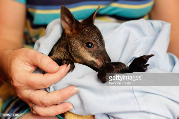 WIRES volunteer Christelle cares for 'Phoenix' an orphaned baby Swamp Wallaby burned in the Springwood fires on October 22 2013 in Castlereagh...