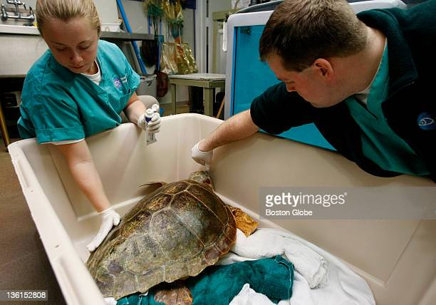 Volunteer Erin Weber and Research Biologist Adam Kennedy lubricate Junior's shell to help him cope with the long ride to Long Island Junior a 69 lb...