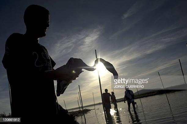 A volunteer grabs a flamingo chick at the Fuente de Piedra lake 70 kms from Malaga on August 6 during a tagging and control operation of flamingo...