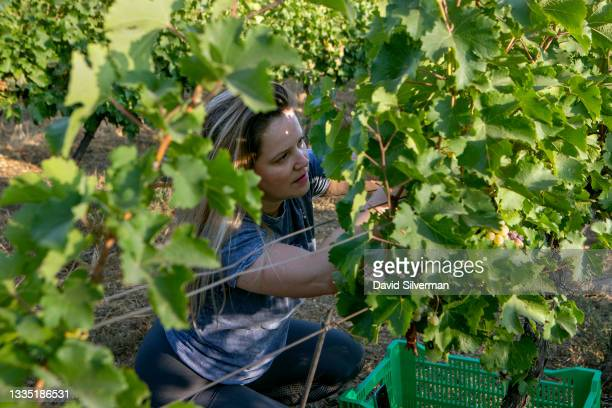 Volunteer harvests Sauvignon Blanc wine grapes for Lital Ovadia's boutique Tel Winery on August 7, 2021 in the Tel Shifon organic vineyard in...