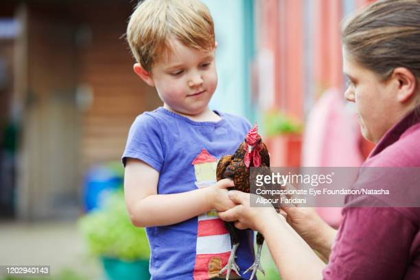 volunteer helping boy hold chicken in urban farm - compassionate eye foundation stock pictures, royalty-free photos & images