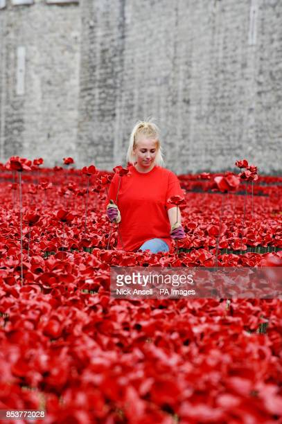 Volunteer Jenna Slaughter 19, from Reading helps plant the ceramic poppies art installation 'Blood Swept Lands and Seas of Red' by artist Paul...