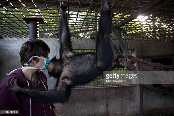 Volunteer Justine Le Hingrat 22 from Brittany in France gets some attention from one of the nursery group after a bushwalk at the Chimpanzee...
