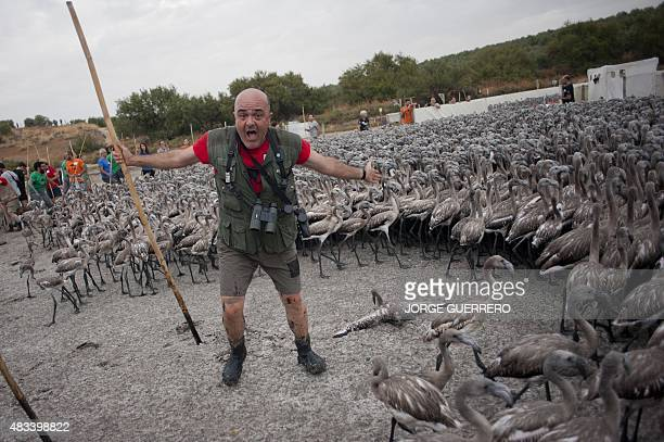 Volunteer makes a face during a round up flamingo chicks on Fuente de Piedra lake 70 kilometres from Malaga on August 8 during a tagging and control...