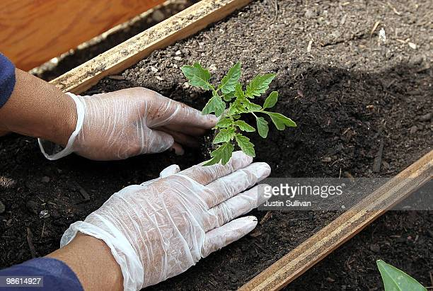 A volunteer plants a tomato while building a community garden on plot of land next to Charcoal Park a community store April 22 2010 in Oakland...