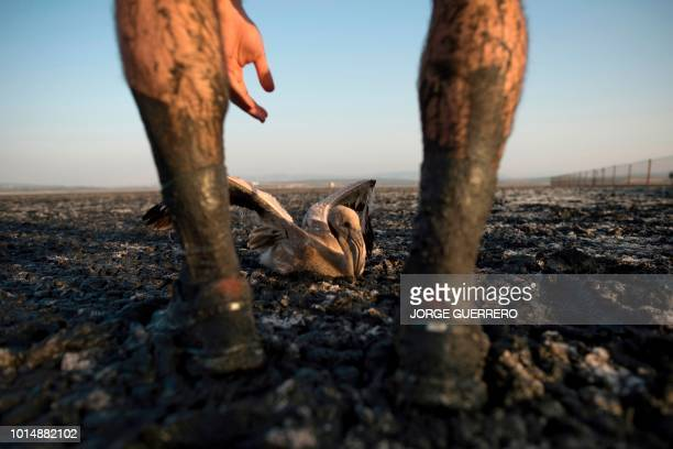 A volunteer releases a flamingo chick at Fuente de Piedra lake 70 kms from Malaga on August 11 2018 during a tagging and control operation of...