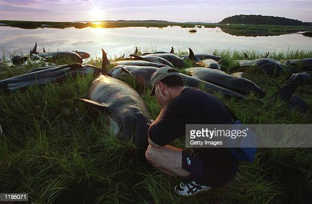 Volunteer Scott Corbett touches one of 31 pilot whales euthanized July 30 2002 on Cape Cod Massachusetts The whales after being rescued from nearby...