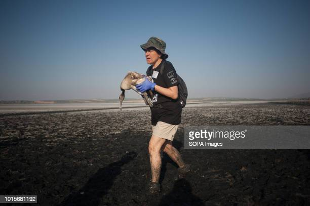 A volunteer seen holding a flamingo chick as she walks through the mud during a drive to control evaluate and identify flamingo chicks for their...