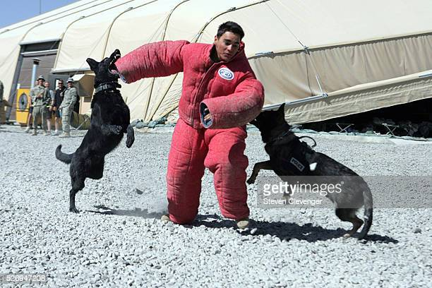 A volunteer soldier is brought down by attack dogs Blek left and Saigo right during their daily training secession The animals iare trained as...