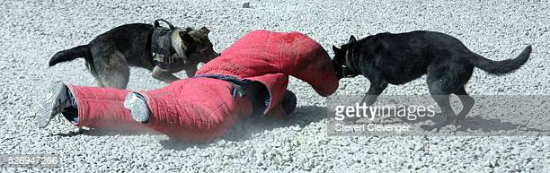 A volunteer soldier is brought down by attack dogs Saigo left and Blek right during their daily training secession The animals iare trained as...