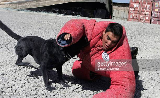 A volunteer soldier struggles after being brought down by attack dogs Blek left and Saigo right during their daily training secession The animals are...