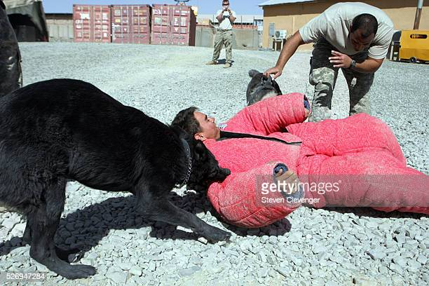 A volunteer soldier struggles after being brought down by attack dogs Saigo left and Blek right during their daily training secession One of their...