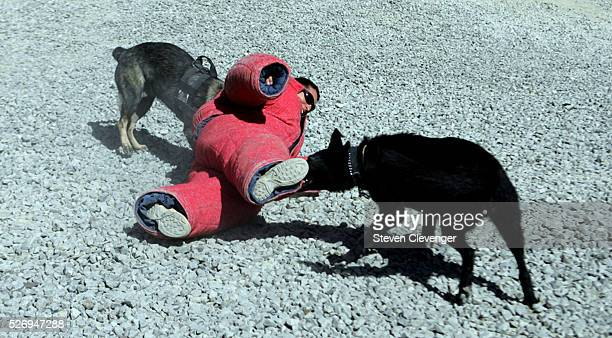A volunteer soldier struggles after being brought down by attack dogs Saigo left and Blek right during their daily training secession The animals are...