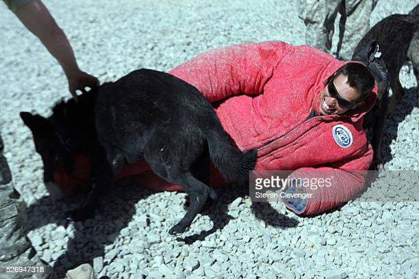 A volunteer soldier struggles after being brought down by attack dogs Saigo left and Blek right during their daily training secession Their handlers...