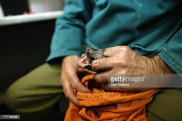 Volunteer Stuart Will who manages a local factory that manufacture bird rings holds a nightjar at the ringing hut on a private reserve in East Sussex...