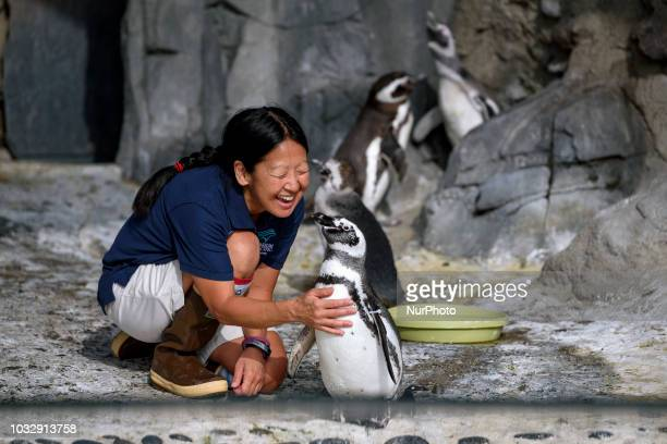Volunteer Terri Oba interacts with an adult Magellanic penguin during a public debut of penguin chicks the Aquarium of the Pacifics penguin habitat...