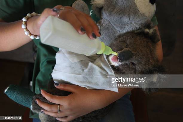 A volunteer wildlife carer feeds an injured koala joey at the Kangaroo Island Wildlife Park in the Parndana region on January 08 2020 on Kangaroo...