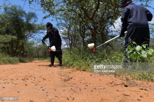 Volunteers from the county government spray pesticide on February 25 2020 at a hatch site near Isiolo town in Isiolo county eastern Kenya where...