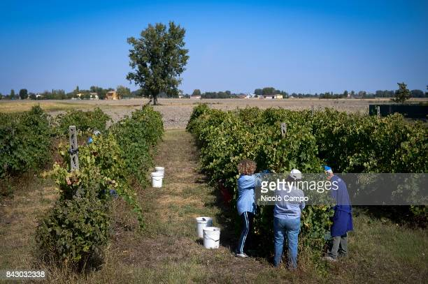 Volunteers harvest Lambrusco grapes This year Italy's annual wine harvest started earlier due to to recordhitting hot summer
