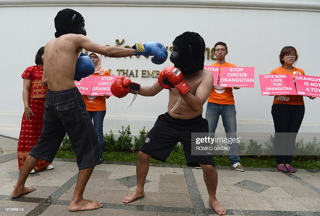 Volunteers of the Centre for Orangutan Protection wearing boxing gloves and monkey masks stage a mock boxing match during a protest outside the Thai embassy in Jakarta on February 14, 2013. The animal rights activist group is demanding the Thai government to stop the Bangkok Safari World from staging the Thai boxing show using trained orangutans as entertainment.