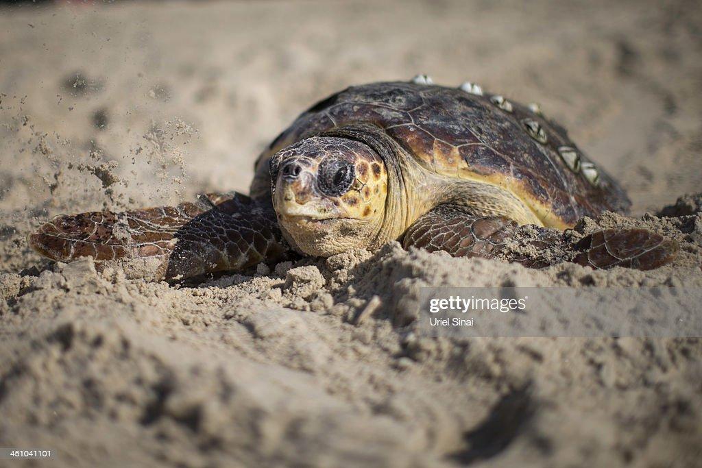Sea Turtles Freed Back To Nature : News Photo