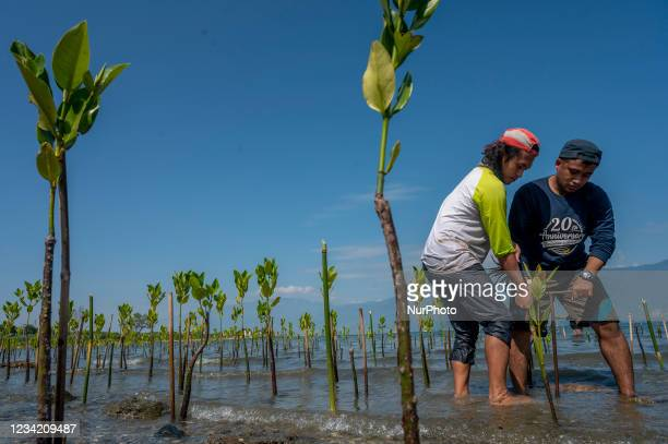 Volunteers plant mangrove tree seedlings in a mangrove conservation area on Dupa Beach, Palu, Central Sulawesi Province, Indonesia on July 26, 2021....