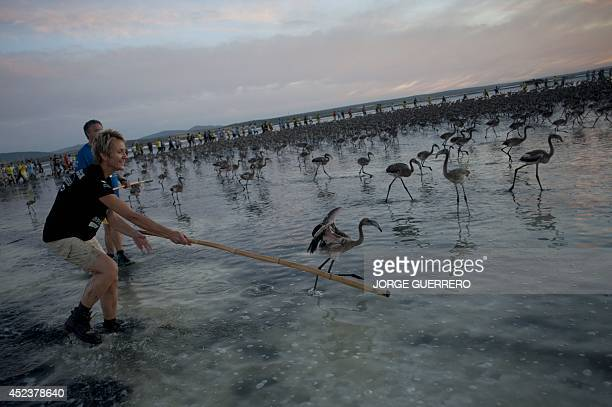 Volunteers round up flamingo chicks on the Fuente de Piedra lake 70 kilometres from Malaga on July 19 during a tagging and control operation of...