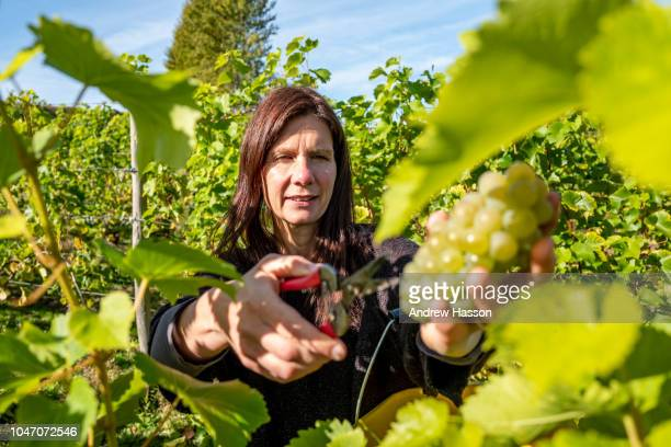 Volunteers take part in the annual harvest at Breaky Bottom vineyard on October 7 2018 in Lewes England The vineyard was planted in 1974 by Peter...