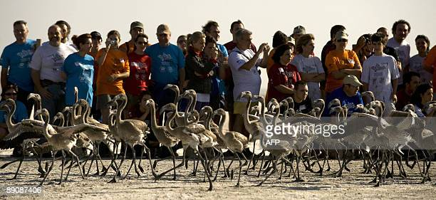Volunteers take pictures of flamingo chicks on the Fuente de Piedra lake 70 kms from Malaga on July 18 following a tagging and control operation of...