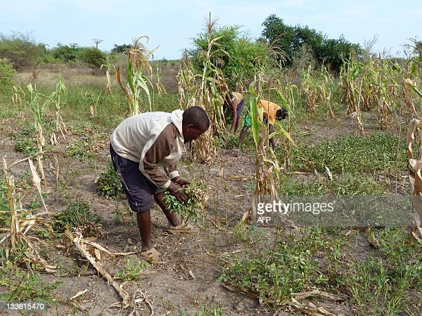 Vontana a farmer harvests peanuts on the dry lands of the 'Avenue of the Baobabs' a famous natural reserve in western Madagascar near Morondava on...