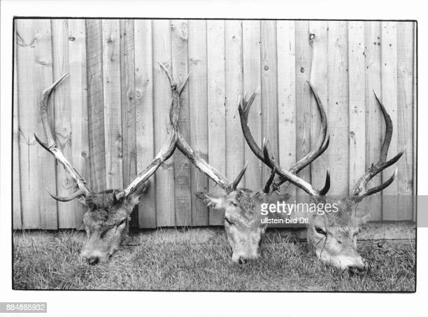 Vor dem Schlachthaus liegen Hirschköpfe mit Trophaen