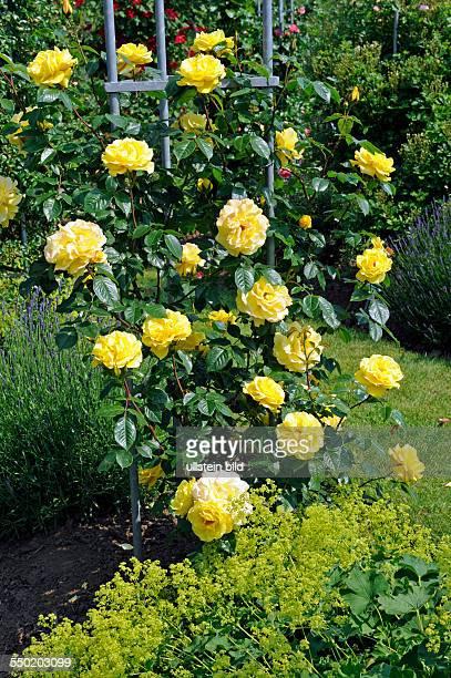 Vor der gelben Kletterrose Rosa Dukat aus 2010 blüht Frauenmantel als Rosenbegleiter