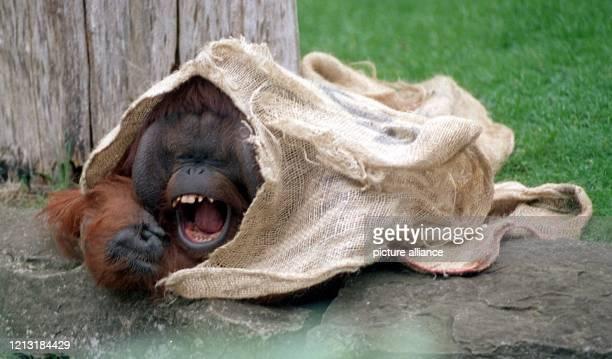 Vorsorglich hat sich Orang-Utan Kevin am 26.4.2000 im Berliner Zoo unter einem Leinensack versteckt, um sich rechtzeitig ein schattiges Plätzchen zu...